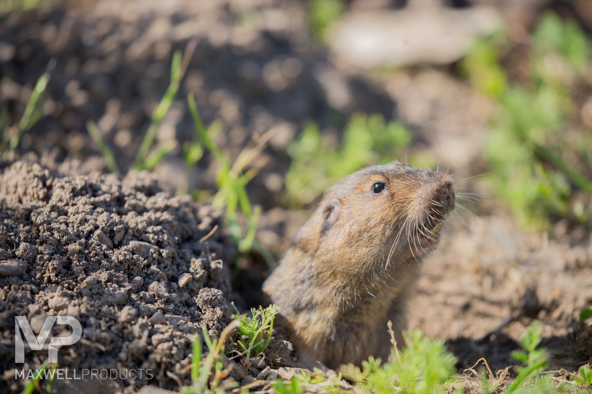 A pocket gopher peeking out of its burrow